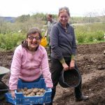 Tattie picking