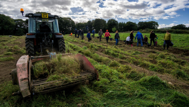 Tractor and line of people picking tatties